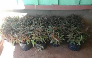 donacion-de-eucaliptos-glor-4